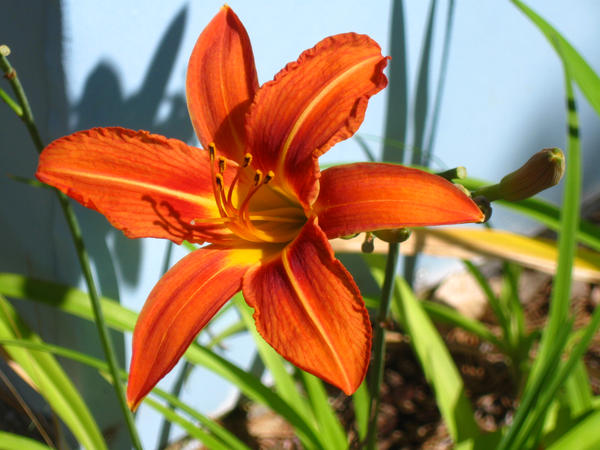 daylily. by crazygardener