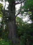 ancient white pine 4