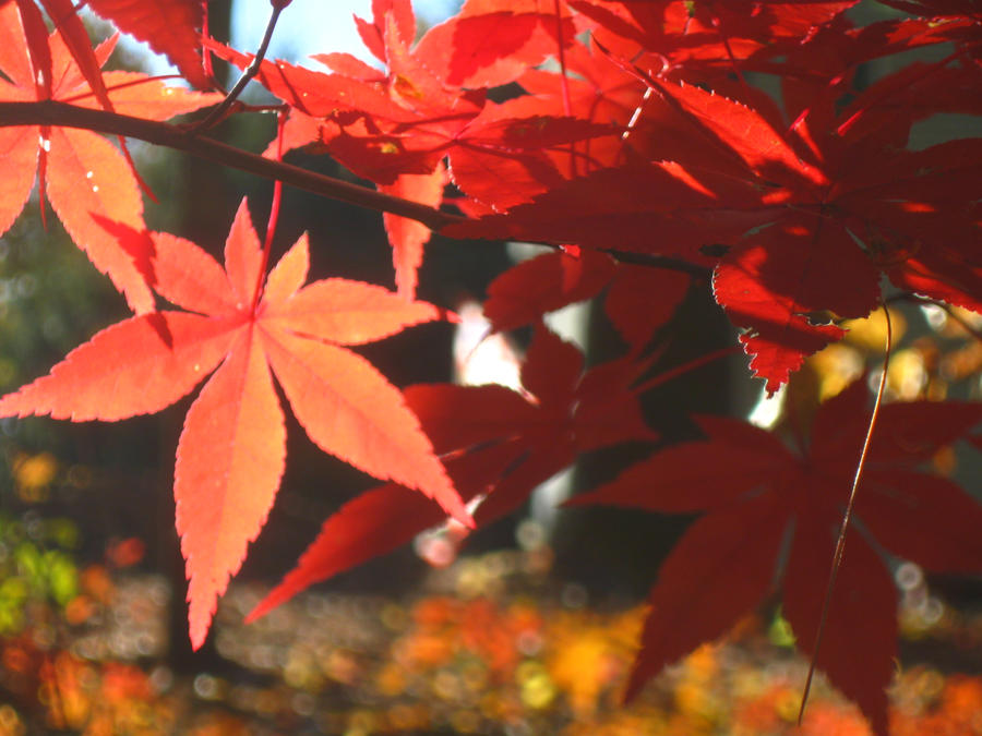 Japanese Maple 16 by crazygardener