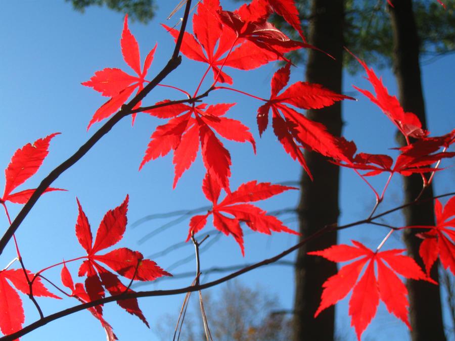 Japanese Maple 17 by crazygardener