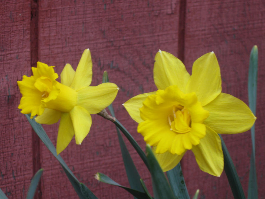 2 Daffs by crazygardener