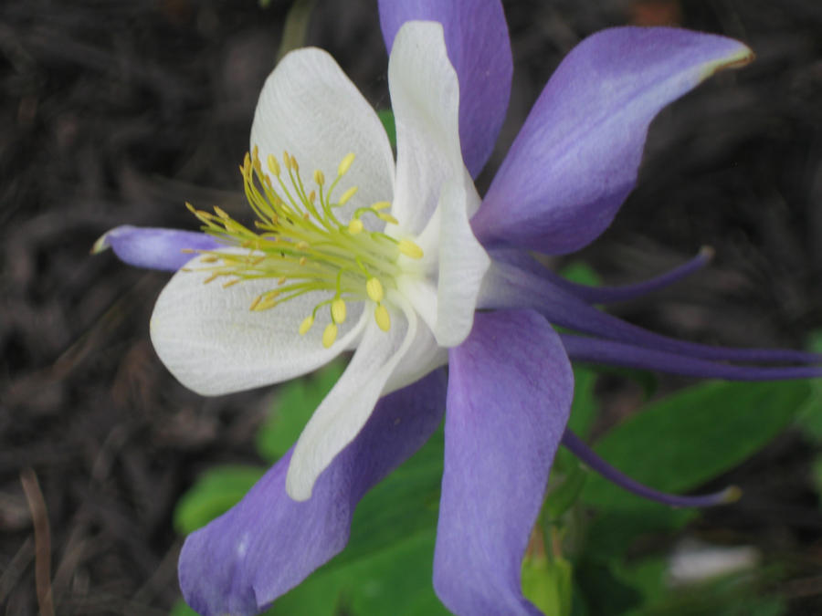 Nancey's Columbine 2 by crazygardener