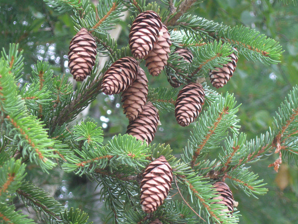 072 pine cones by crazygardener