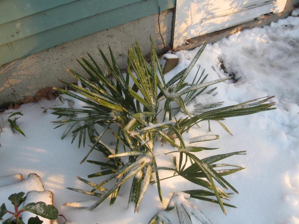 my new Needle palm by crazygardener