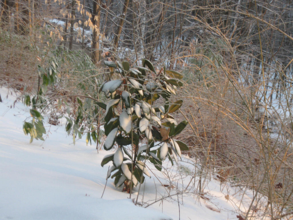 Southern Magnolia in snow by crazygardener