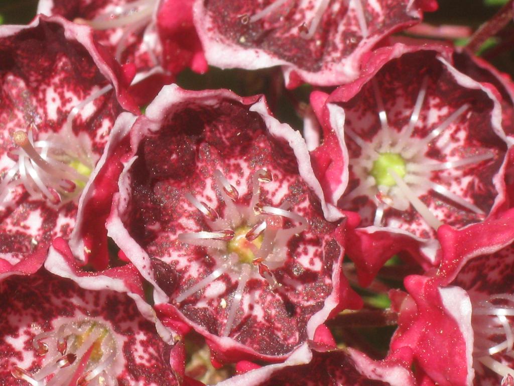 red mountain laurel flowers by crazygardener