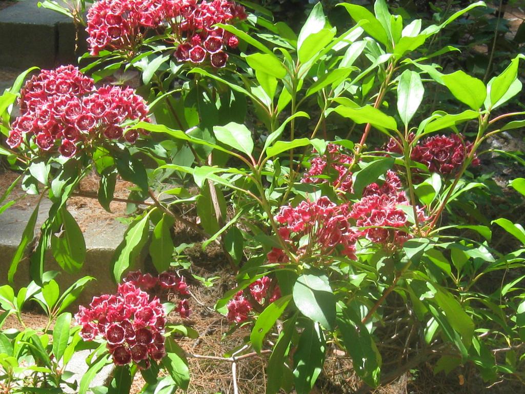 red mountain laurel bush by crazygardener