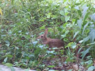 Rabbit by crazygardener