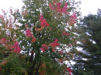Red tipsy maple by crazygardener