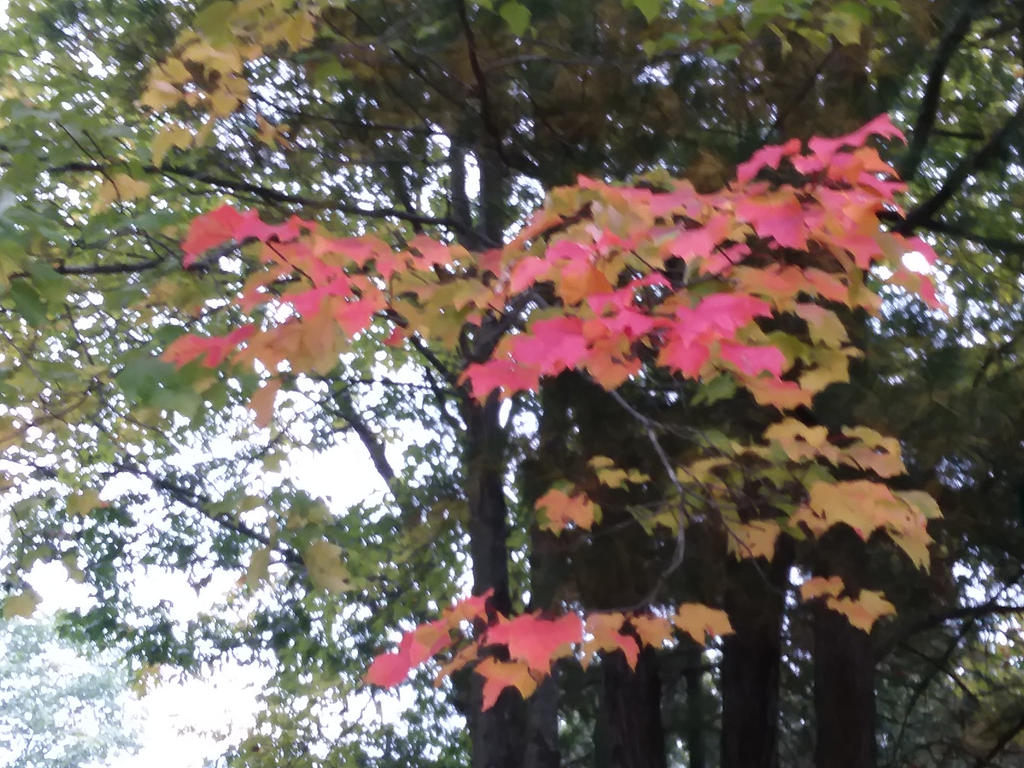 another red maple by crazygardener