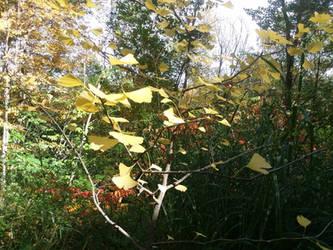Ginkgo in fall by crazygardener