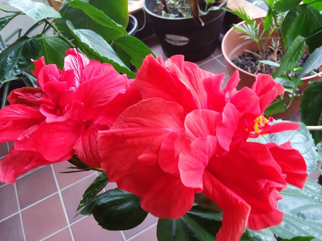 Double Hibiscus at work by crazygardener