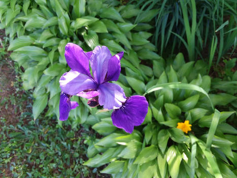 my cousin's iris