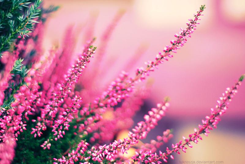 Wrzosowe love. by Lukreszja
