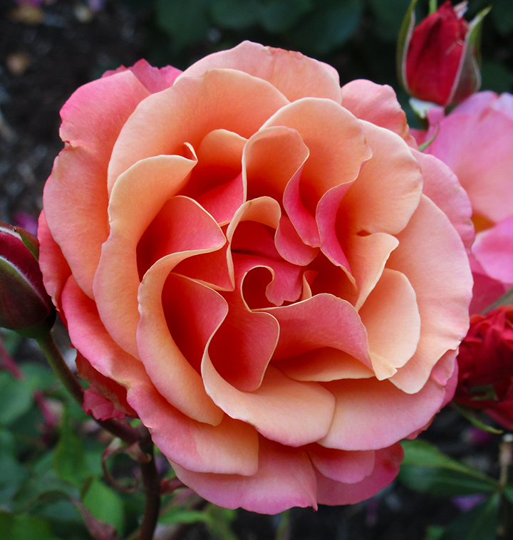 roseSunset by dreamwalker13