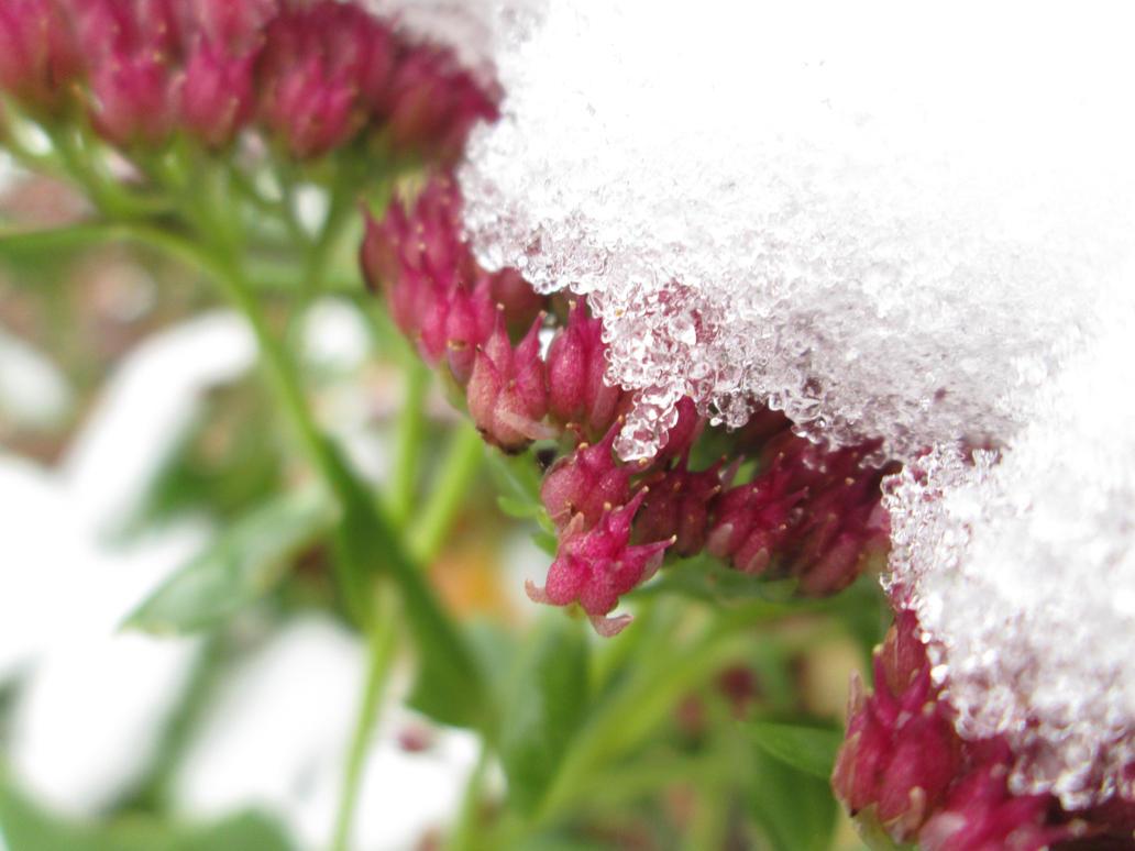Snowy one .u. by Karokas