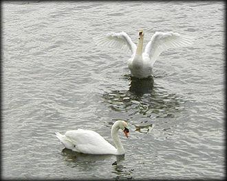swan ref 3 by RMBDarkmyth