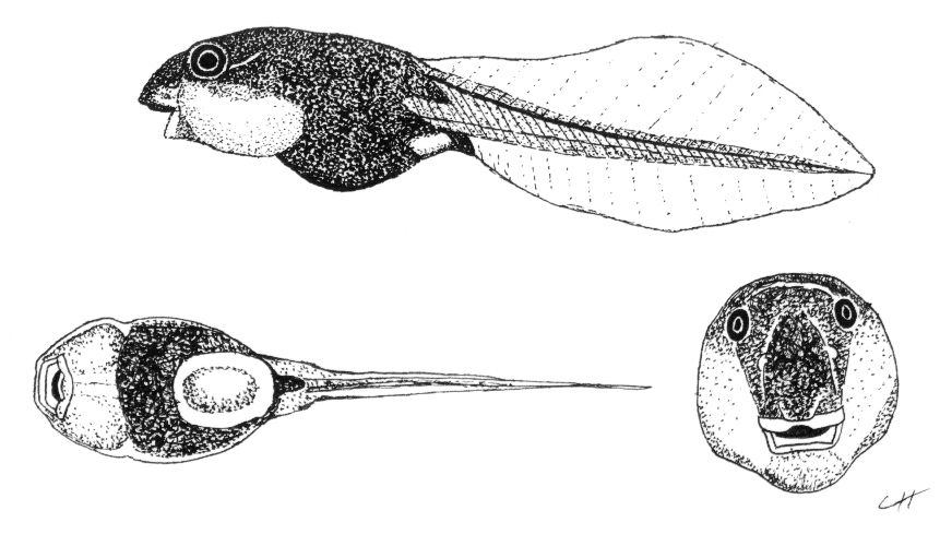 how to draw a tadpole