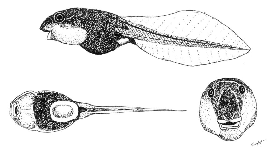 Tadpole by PaleoAeolos on deviantART