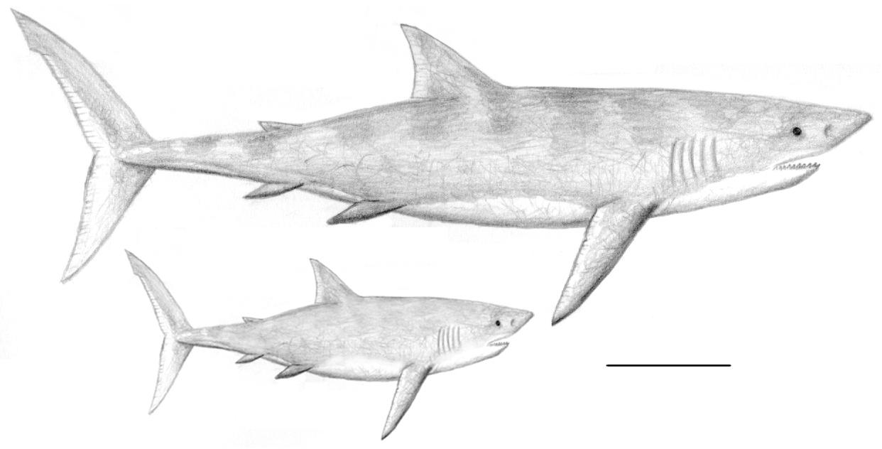- Megalodon Coloring Pages