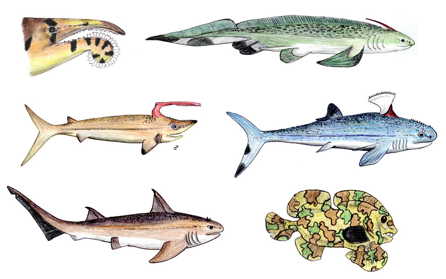 Xenacanthus Shark