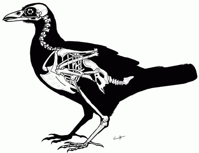 Raven Skeleton By PaleoAeolos On DeviantArt
