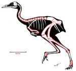 Patagopteryx skeleton