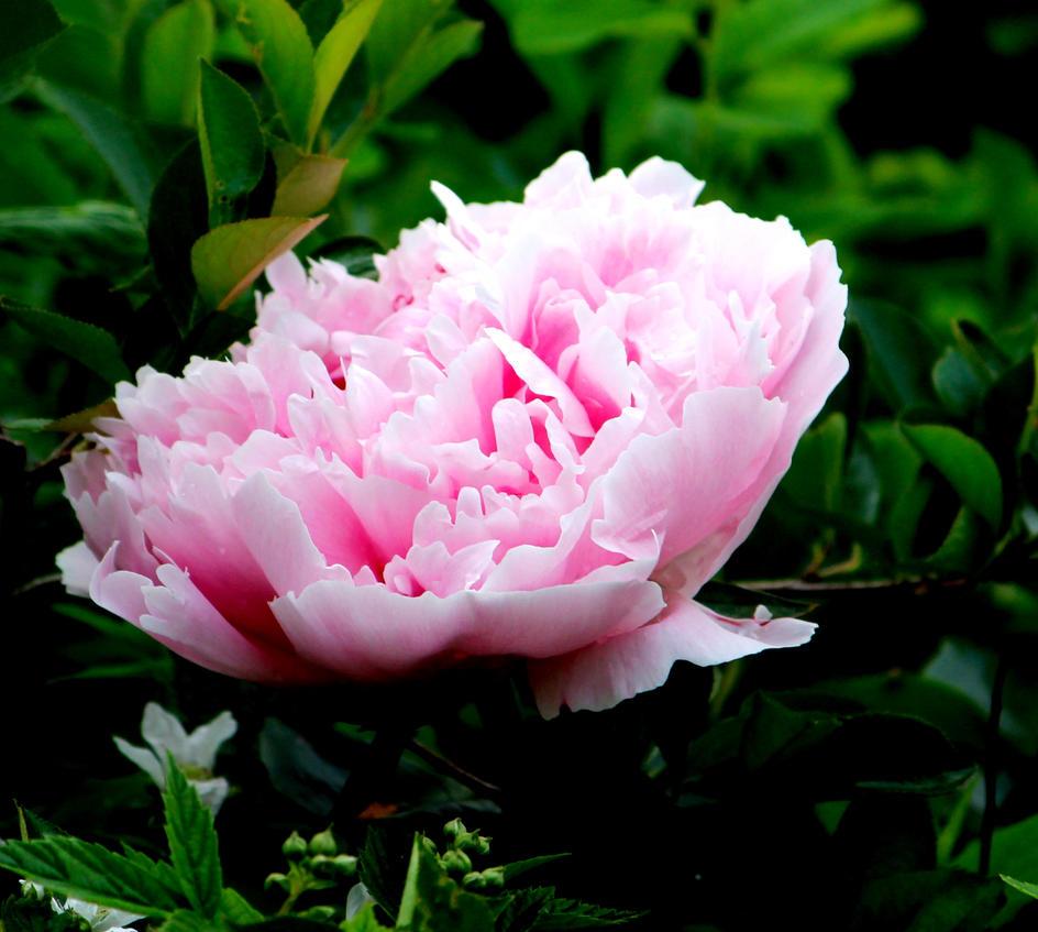 Pink flower by quietstrangewolf