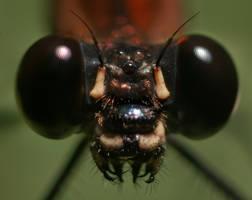 Black eyed Damselfly 001 by otas32