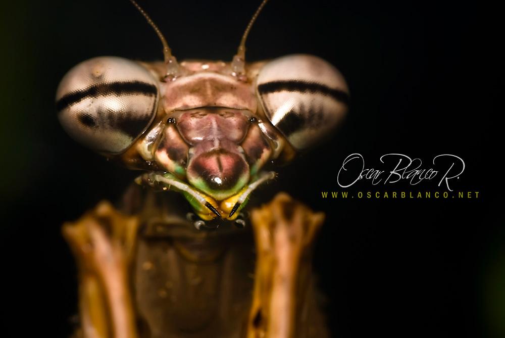 Praying Mantis 01 by otas32