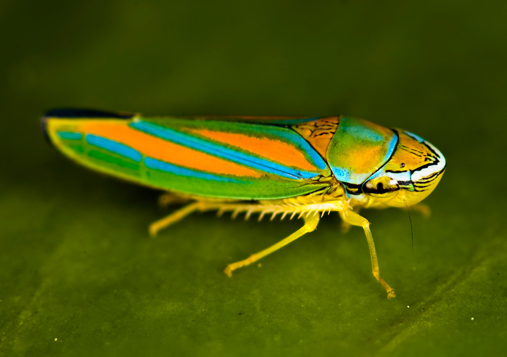 colorful leaf hopper by -#main
