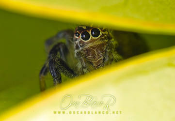 Hiding jumping spider 003 by otas32