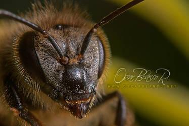 sleepy bee 001