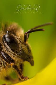 sleepy bee 002
