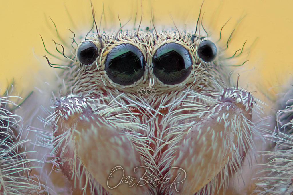 Phidippus Clarus Female by otas32