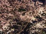 Sakura03 by sweetmoon