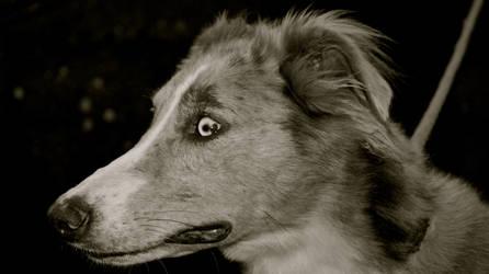 Ready, Greyhound at the ready