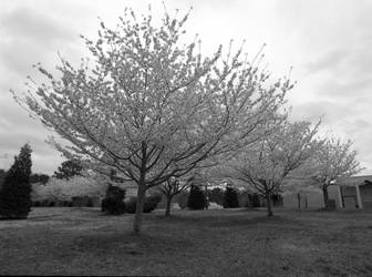 Dogwoods by rdswords