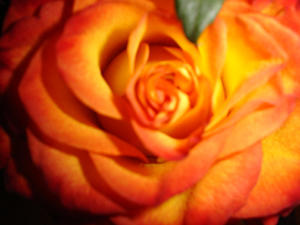 Rose by girlnotpretty