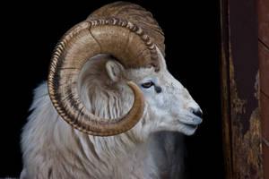 I am a Ram by Michel1963