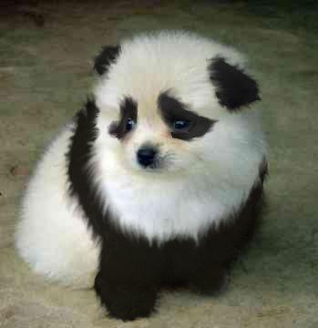 panda dog breed - photo #12