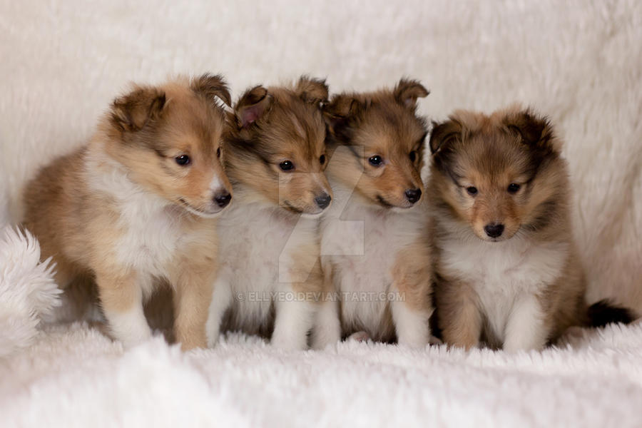 Sheltie Puppies By Ellyeo On Deviantart