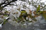 New Cherry Blossoms