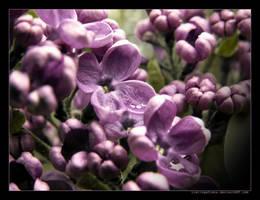 Lilac by LietingaDiena