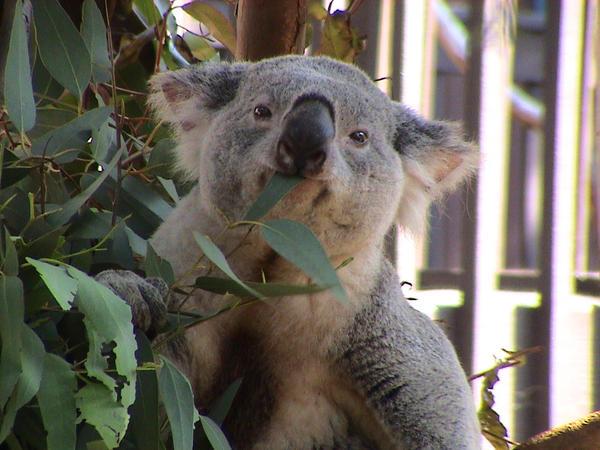 SDZ- Koala by veraukoion
