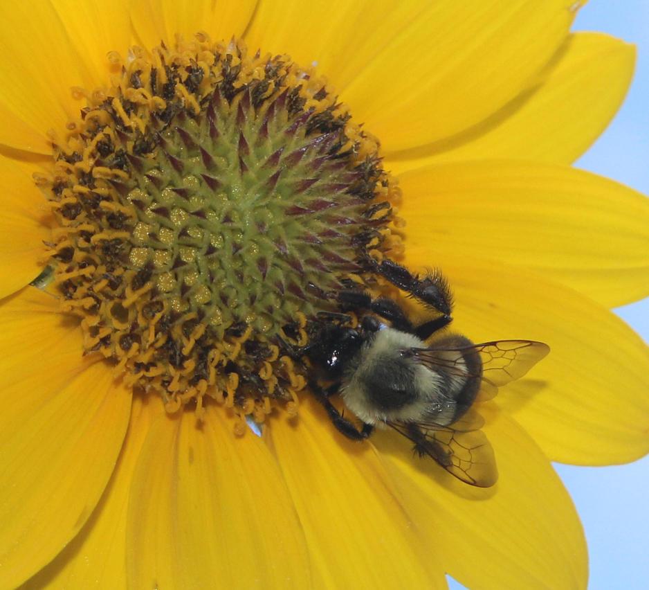 Busy Bee by captainkodak1