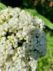 Cluster of White Flowers