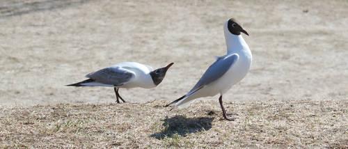Two Gulls 2 by purstotahti