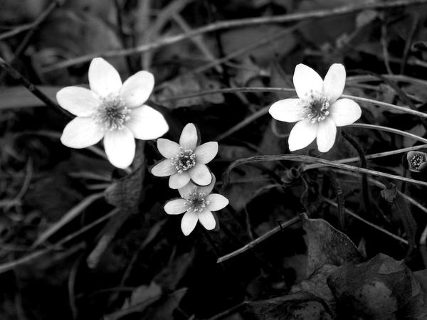 Black and white flowers by sweetlittlelulu88 on deviantart black and white flowers by sweetlittlelulu88 mightylinksfo Choice Image