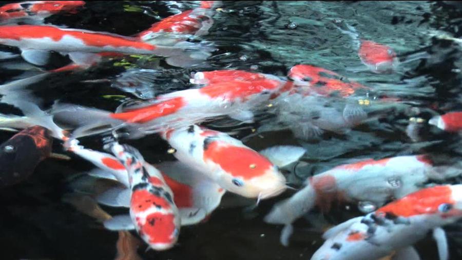 Ikan koi by afwanfirdaus on deviantart for Keeping koi fish